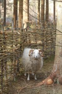 Unsere Skudden sind eine Schafrasse, die es angeblich schon im 8.Jahrhundert gab.