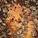 """Die gestreiften Kärntner Bienen (""""Carnica""""-Biene) sind sanftmütig, und daher ideal für unser Gelände."""