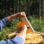Herr Frech fegt die Bienen vorsichtig von den Waben herunter.