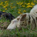 Mutterschaf und Lamm erholen sich in der Sonne. Foto: J.Waffenschmidt.